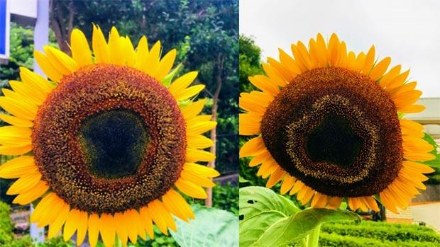 夏は向日葵!